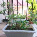 【家庭菜園】野菜が増えたよ!
