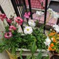 ラナンキュラス花盛り