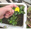 植えていないモノが、すくすく育っている。